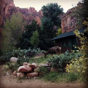 Wildlife at Phantom Ranch
